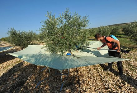 Olivenernte-Kopie-440x300